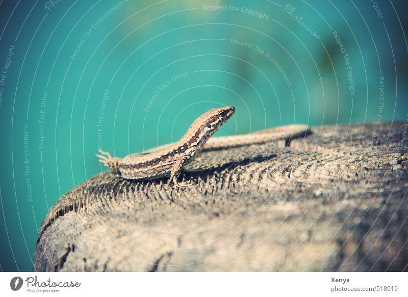 Reptil Posing, the second Umwelt Natur Sonne Sonnenlicht Sommer Tier Echte Eidechsen 1 exotisch Freundlichkeit blau Sonnenbad Holz Baumstumpf Außenaufnahme