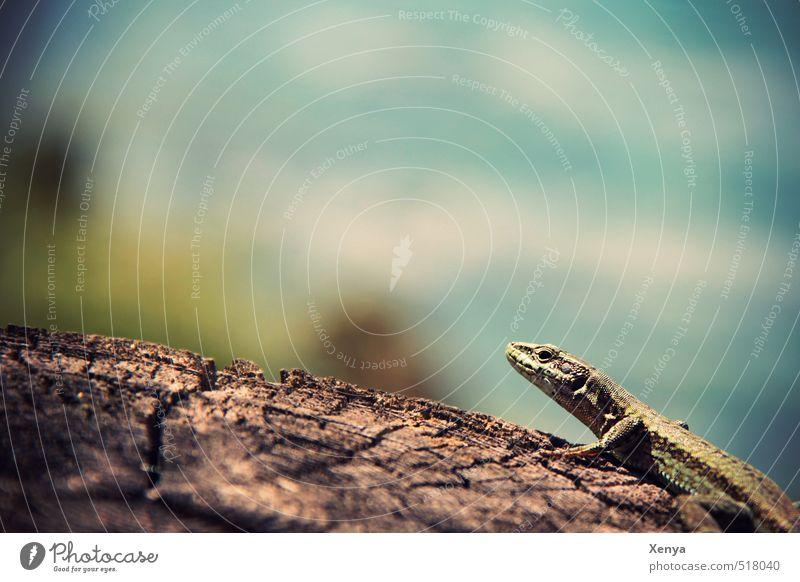 Reptil Posing Umwelt Natur Sonne Sonnenlicht Sommer Tier Echte Eidechsen 1 ästhetisch exotisch blau grün Holz Sonnenbad Außenaufnahme Nahaufnahme Menschenleer