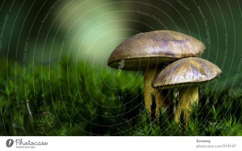 Autumn rises... Natur Pflanze Erde Herbst Moos Pilz Steinpilze Wald Kraft Schutz ruhig Wandel & Veränderung Zusammenhalt Farbfoto Außenaufnahme Nahaufnahme