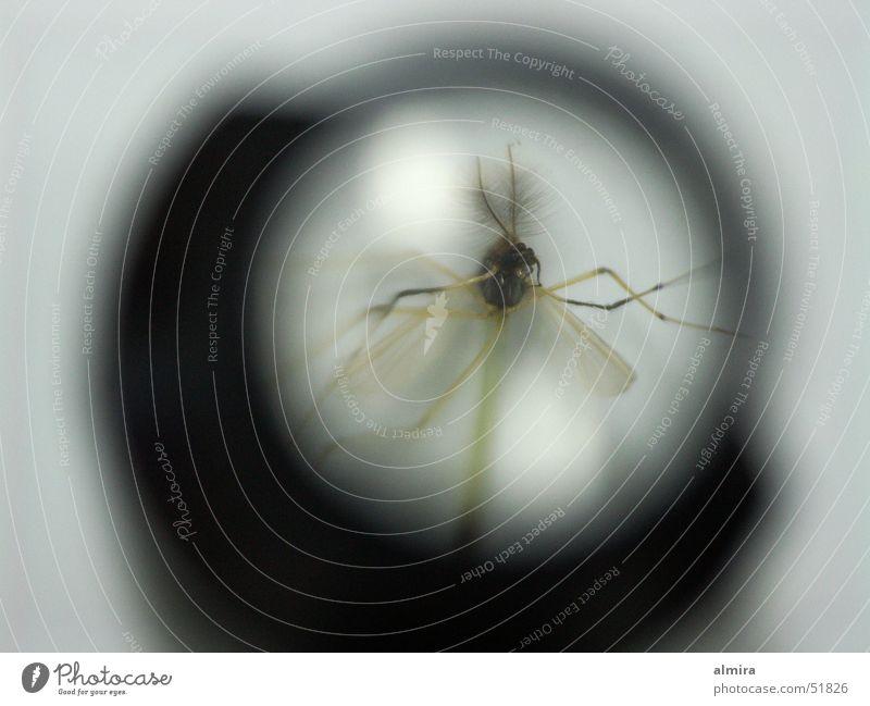 Schreibtischfund Fadenzähler Stechmücke vergrößert Tier Insekt Eintagsfliege winzig durchsichtig Härchen Fliege Flügel Lupe Tod mikroskopisch
