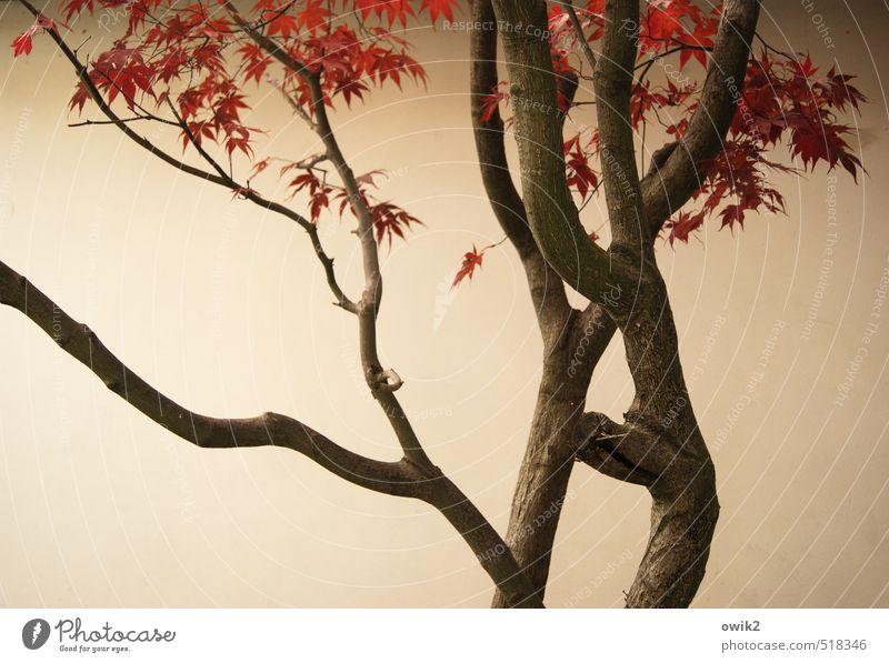 Japanischer Ahorn Umwelt Natur Pflanze Herbst Schönes Wetter Baum Blatt Wildpflanze Holz Zweige u. Äste Wand Mauer Putzfassade hell Herbstfärbung dehydrieren