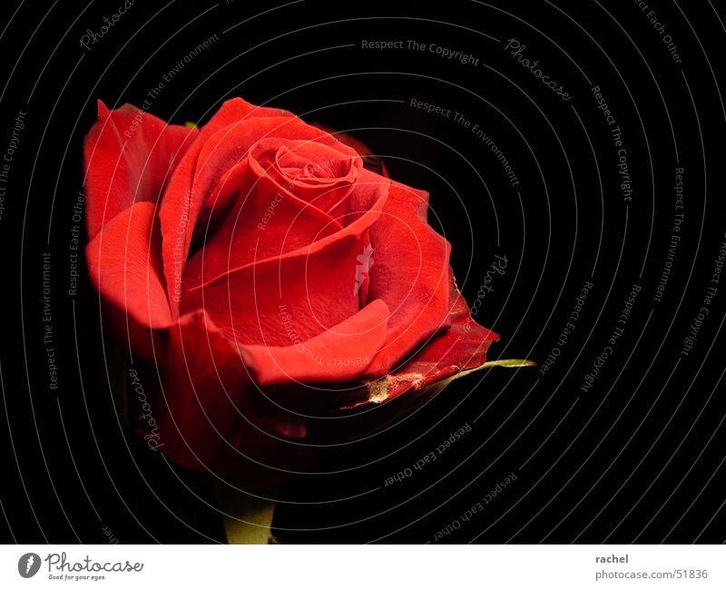 Rose Natur Pflanze grün Blume rot Blatt dunkel schwarz Blüte Gefühle Glück Feste & Feiern Zufriedenheit Blühend Romantik Zeichen