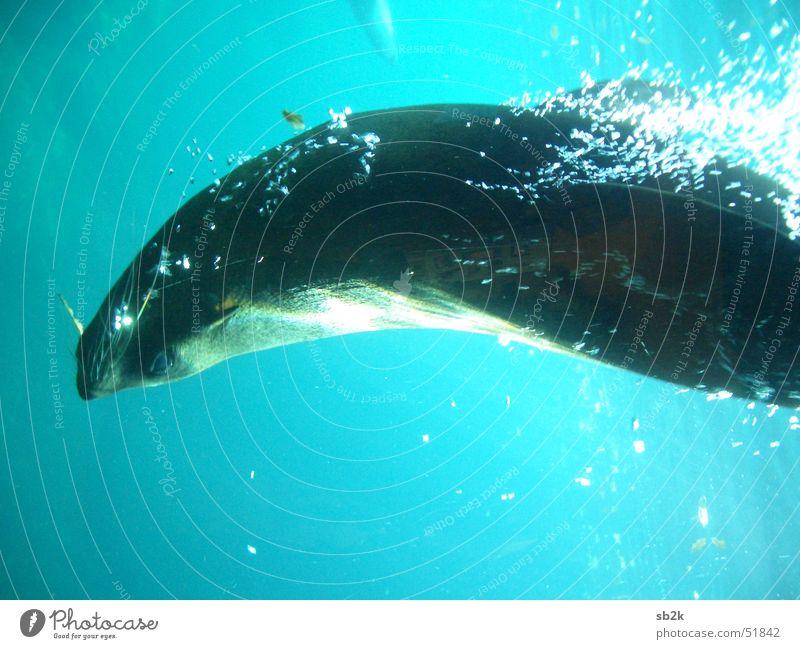 Freischwimmer Wasser Meer blau Tier Leben dunkel grau Hund See hell Wellen Aktion blasen Mineralwasser Robben