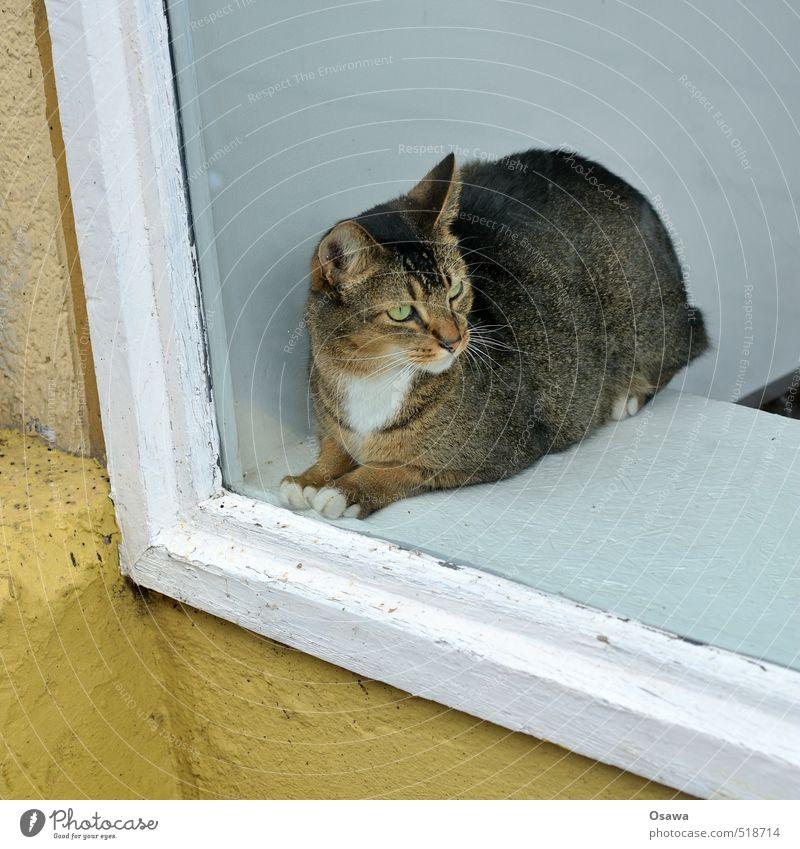 Schaufenster Haus Fenster Tier Haustier Katze 1 beobachten Denken hocken Blick sitzen ästhetisch dick elegant schön braun gelb schwarz weiß Zufriedenheit