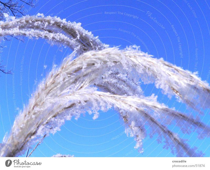 bibber.... Himmel blau Pflanze Winter kalt Schnee Eis Frost Stengel Schönes Wetter Kristallstrukturen Flocke