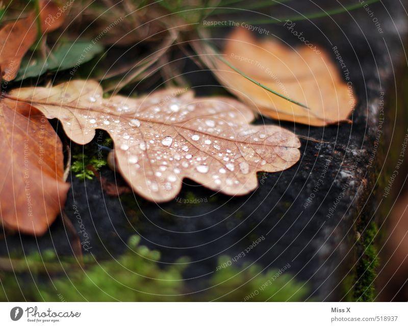 Eichenblatt Blatt Herbst Regen nass Wassertropfen Vergänglichkeit Tropfen Herbstlaub Tau herbstlich Herbstwetter