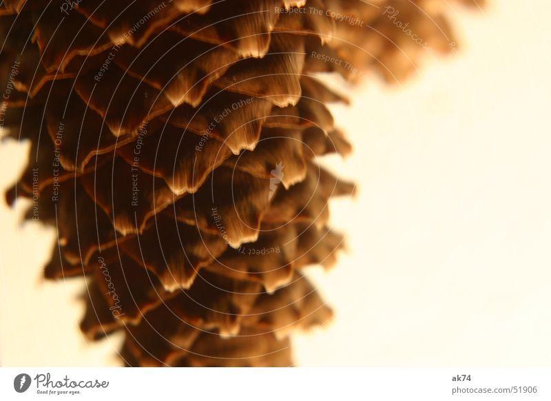 Zapfen Winter Herbst braun Tanne Samen Fichte