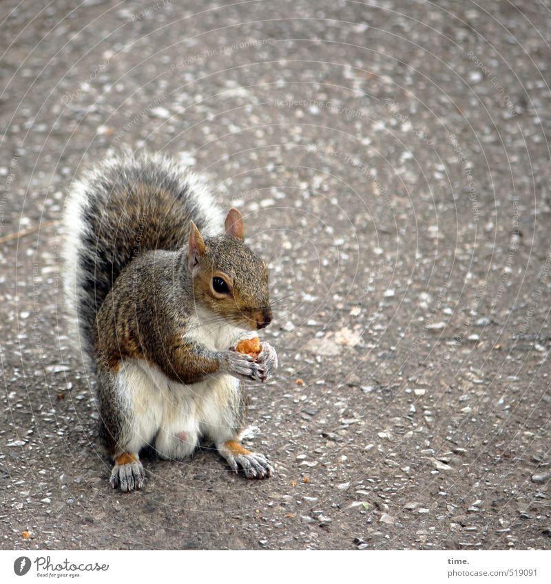 First Class Straße Tier Wildtier Tiergesicht Fell Pfote Eichhörnchen 1 beobachten Essen festhalten sitzen Neugier niedlich wild weich braun Nervosität Gier