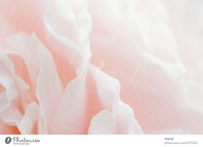 zartrosa Pflanze Blume Blüte Pfingstrose berühren Blühend ästhetisch Duft schön natürlich elegant geheimnisvoll Hoffnung Inspiration Lebensfreude Farbfoto