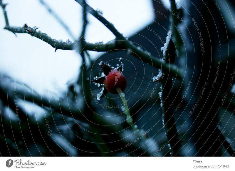 winterrose Rose Winter kalt rot Dorn Schnee Frost Zweige u. Äste laublos Detailaufnahme Nahaufnahme Menschenleer trist Textfreiraum rechts Blütenknospen