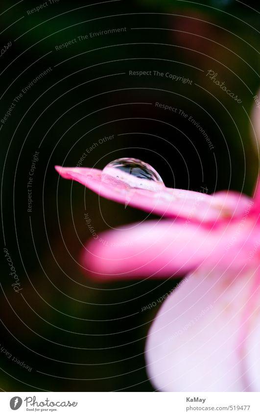 Wassertropfen auf Fuchsienblüte Natur Pflanze Sommer Blume Blüte Fuchsienblüten Tropfen Blühend Duft glänzend natürlich rosa ästhetisch Stimmung Farbfoto