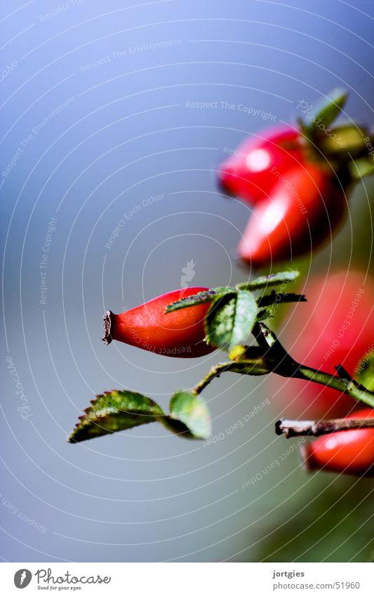 nature // in detail Rose rot Frucht dog rose roses fruit red Hundsrose