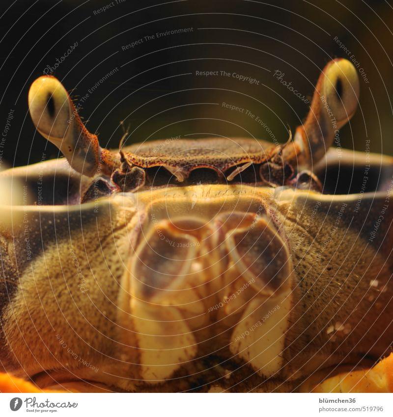 Punktsieg | staunen... Tier Tiergesicht Krebstier Taschenkrebs Krustentier Krabbe Terrarium beobachten Blick Aggression außergewöhnlich frech gruselig natürlich