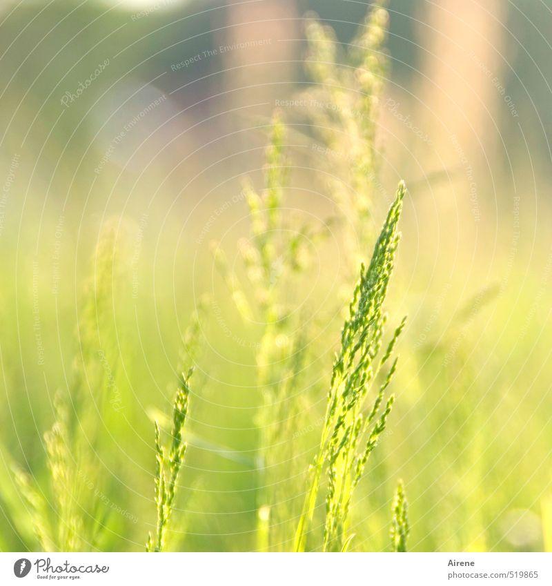 Zeitumstellung | Schön war's! Natur grün Sommer Pflanze ruhig gelb Wärme Wiese Gras natürlich hell gold Zufriedenheit Schönes Wetter Freundlichkeit Frieden