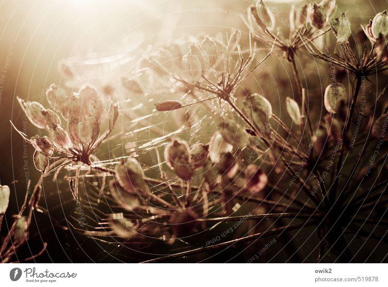 Versponnen Umwelt Natur Pflanze Herbst Klima Wetter Schönes Wetter Wärme Sträucher Wildpflanze glänzend leuchten verblüht dehydrieren hell nah natürlich schön