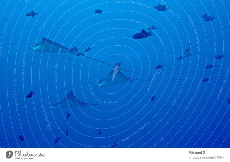 Adlerrochen Ferien & Urlaub & Reisen Fisch Rochen tauchen Malediven Unterwasseraufnahme Adler Rochen Meeresforschung