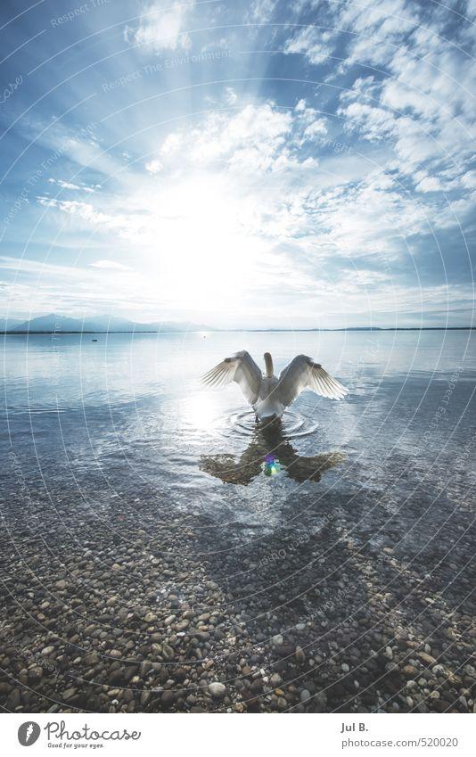 Alpen Schwan III Natur Wasser Tier Umwelt Gefühle See Stimmung Flügel Seeufer Wahrheit Tugend