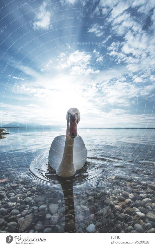 Alpen schwan I Natur Tier Umwelt See Stimmung Wetter Fröhlichkeit Flügel Schwan Vogel