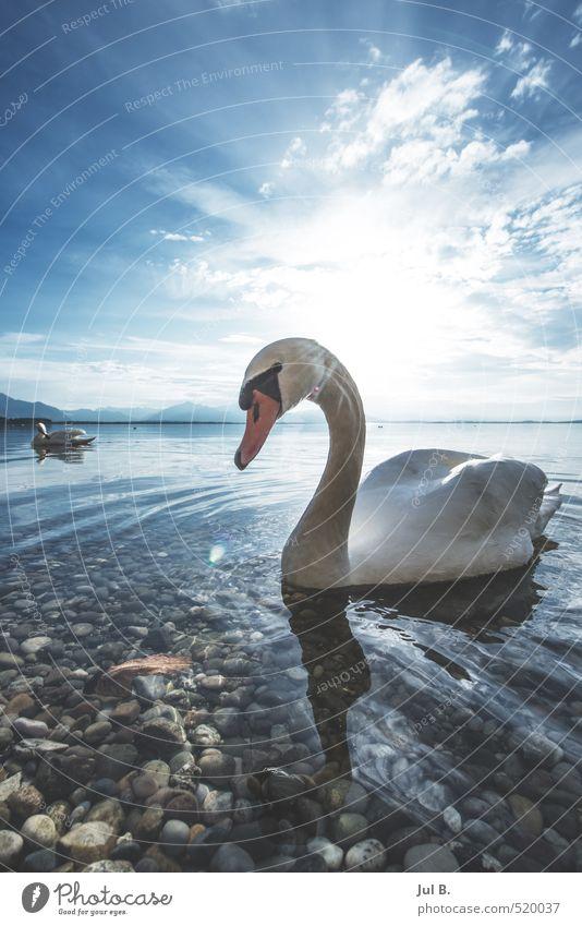 Alpen Schwan II Natur Landschaft Tier Umwelt See Stimmung Fröhlichkeit Flügel Klima Vogel Tugend Licht Gefühle