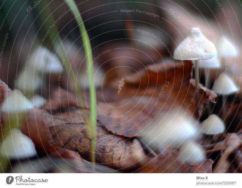 Kleine Männchen Blatt Wald Herbst klein Erde Wachstum Herbstlaub Pilz Gift bewachsen Pilzhut sprießen essbar