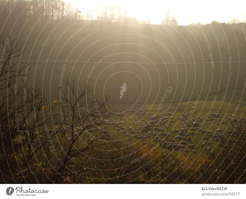 Himmlische Erleuchtung Schaf Schafherde Geborgenheit Licht Sonnenstrahlen Erkenntnis Wiese grün Herbst Herbstlandschaft Gegenlicht Säugetier Schatten Kontrast