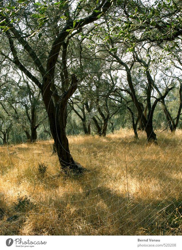 Olivenhain Umwelt Natur Landschaft Pflanze Baum Gras Olivenbaum natürlich braun gelb gold grün schwarz Wachstum Landwirtschaft Griechenland Korfu aufstrebend