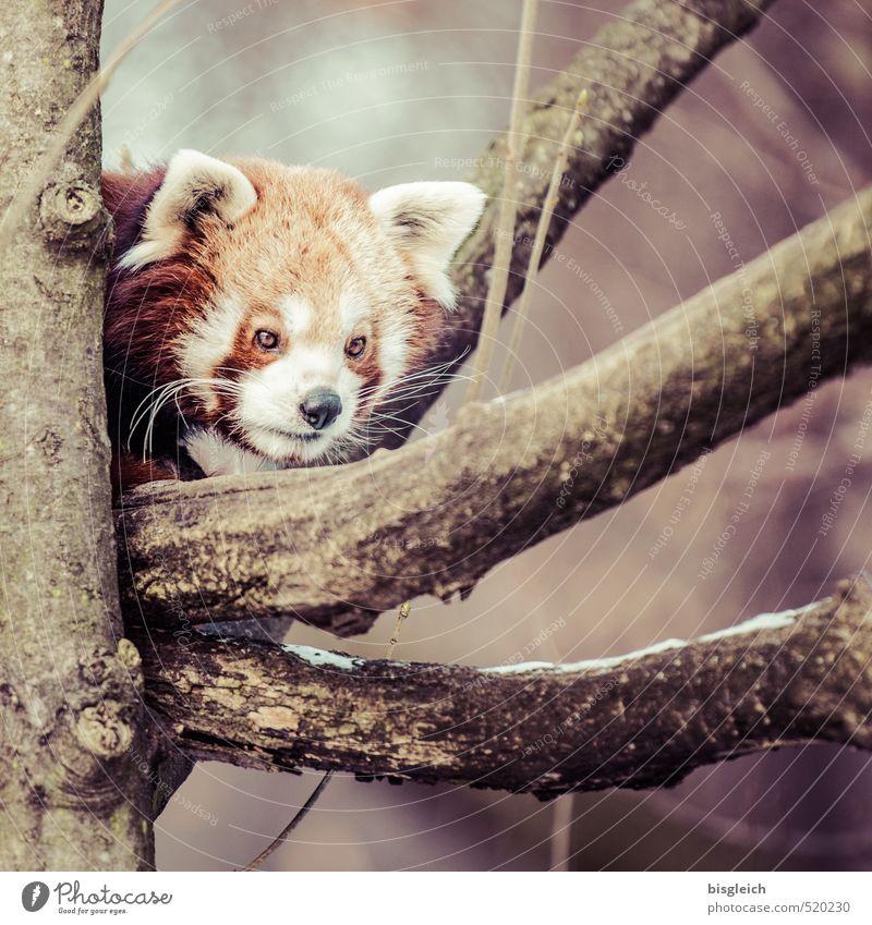 schlie en sie herauf portr t des roten pandas auf baum ein lizenzfreies stock foto von photocase. Black Bedroom Furniture Sets. Home Design Ideas