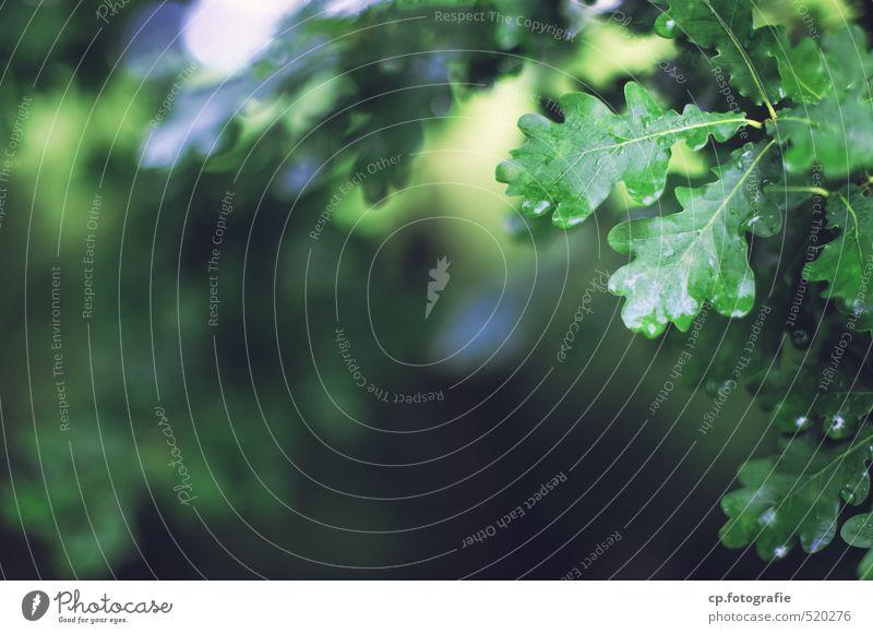 Eichenlaub Natur grün Sommer Pflanze Baum Wald frisch