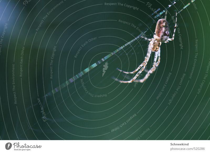Gartenbewohner Natur schön grün Landschaft Tier Umwelt Essen Angst Wildtier ästhetisch beobachten gruselig Fressen Spinne Spinnennetz hässlich