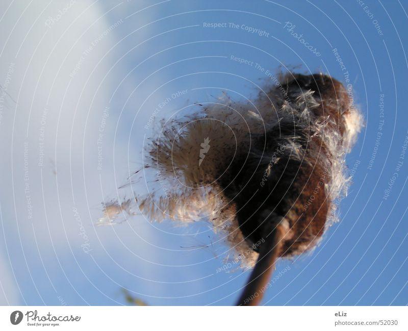 Vom Winde verweht Himmel Pflanze Wolken Graffiti Wind Luftverkehr Samen Binsen Rohrkolbengewächse