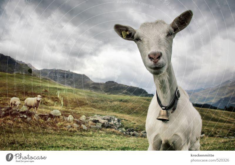 Schwänli oder Bärli? Himmel Natur grün weiß Landschaft Blume Wolken Tier Umwelt Berge u. Gebirge Gras Felsen Gipfel Alpen Hügel Neugier