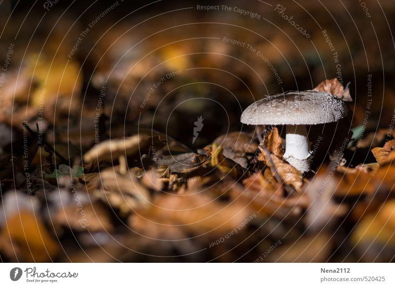 Abendsonnenstrahlen Umwelt Natur Pflanze Erde Sonnenlicht Herbst Klima Wetter Schönes Wetter Wald braun Pilz Pilzhut Blatt Laubwald Waldboden Spaziergang