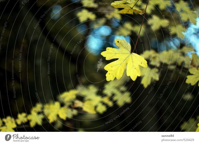 Herbstabend Pflanze Baum Blatt Wald Park ästhetisch gelb Natur ruhig Farbfoto Außenaufnahme Textfreiraum links Abend Schwache Tiefenschärfe