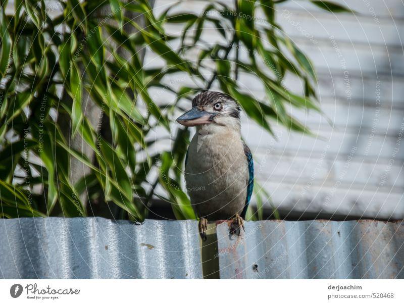 Kookaburra on the fence Körper Erholung Insel Garten Kopf 1 Mensch Natur Sommer Schönes Wetter Vogelperspektive Thursday Island Australien Zaun Tier Wildtier