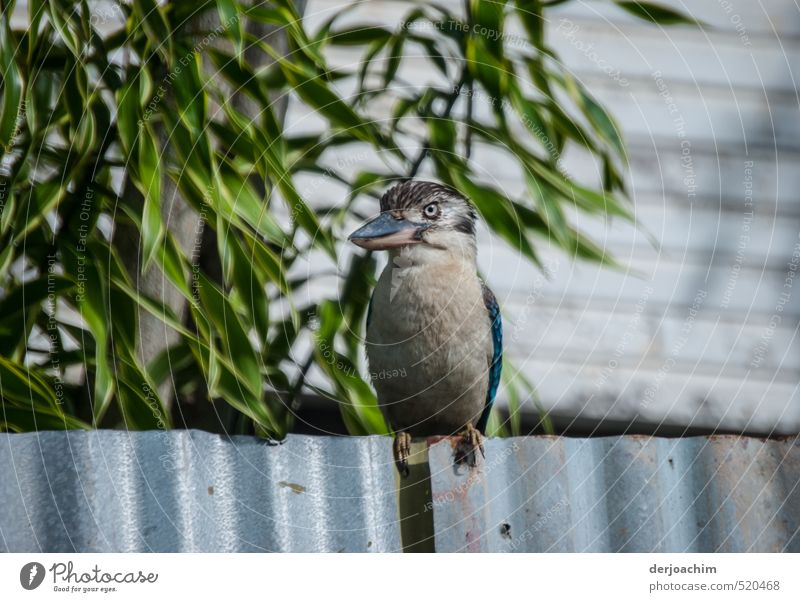 Kookaburra on the fence Mensch Natur schön Sommer Erholung Tier außergewöhnlich Kopf Garten Vogel Körper glänzend sitzen Wildtier warten Insel
