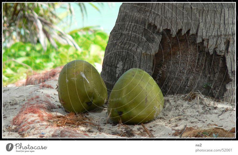 Kokosnüsse in Mexiko Ferien & Urlaub & Reisen Strand Urwald Palme