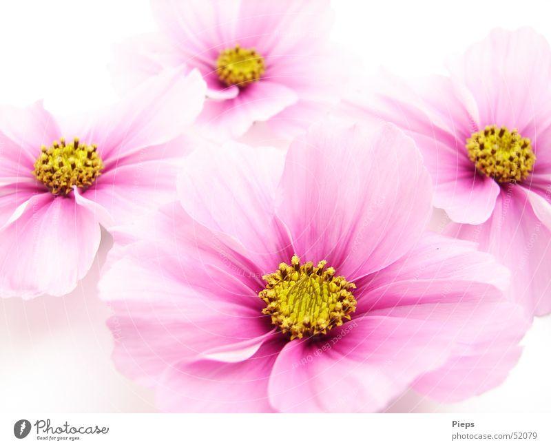 Cosmisches Quartett Farbfoto Innenaufnahme Nahaufnahme Hintergrund neutral schön harmonisch Sommer Garten Natur Pflanze Blume Blüte Dekoration & Verzierung