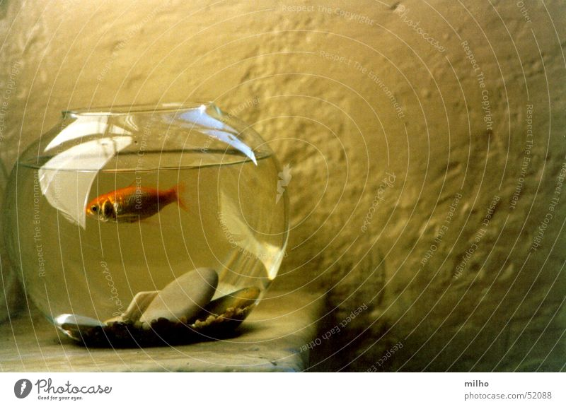 Red fish shadow wallpaper color