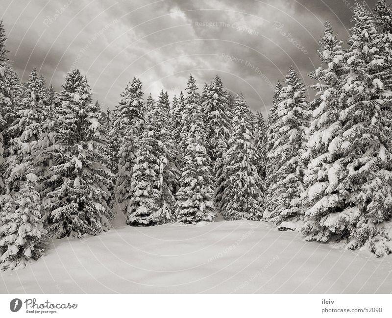 Winterwald Neuschnee