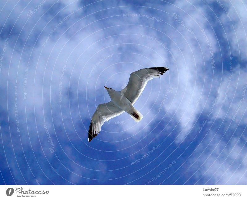 Möwe weiß Meer Vogel Tier Wolken Luft Unendlichkeit Natur Frieden Himmel möve blau Freiheit Flügel fliegen Lachmöwe blue white sea freedom bird animal wings sky