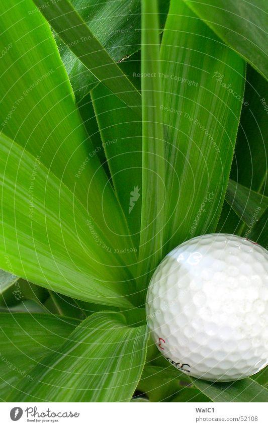 Morgenstund hat Golf im Mund Pflanze Palme Blatt grün Blume Spielen Faser Ball putt