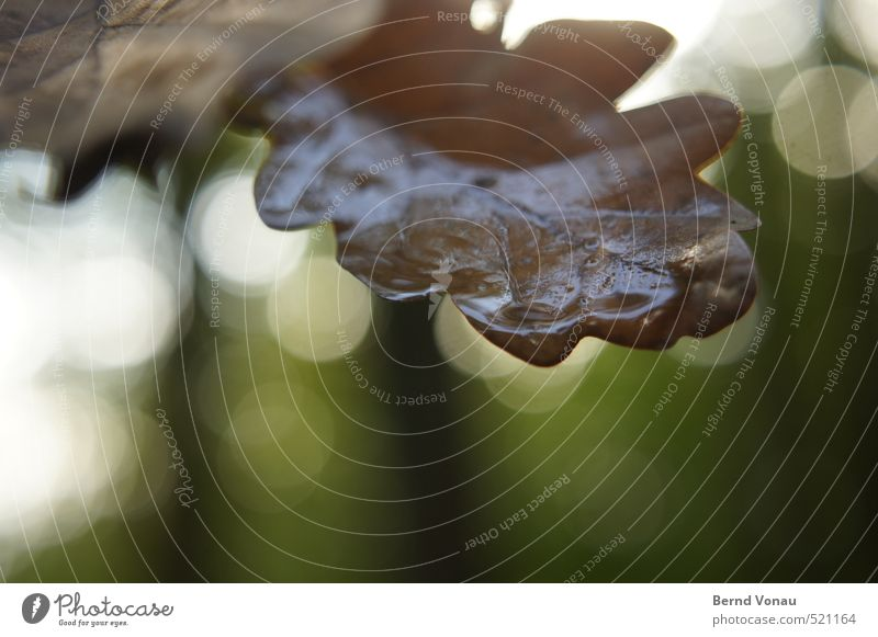 Herbstbokeh Pflanze Baum Blatt Eichenblatt nass blau braun grün schwarz weiß Wassertropfen benetzt Herbstlaub kreisrund Blattadern Wald Spaziergang beobachten