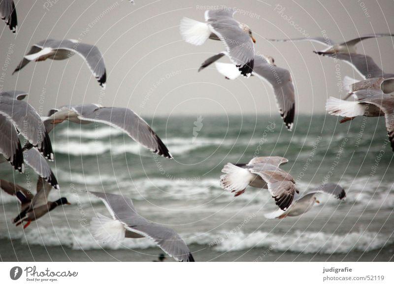 Möwen Meer Wellen Natur Tier Wasser Küste Ostsee Wildtier Vogel Flügel Silbermöwe Tiergruppe Bewegung fliegen kalt grau Freiheit Feder Farbfoto Außenaufnahme