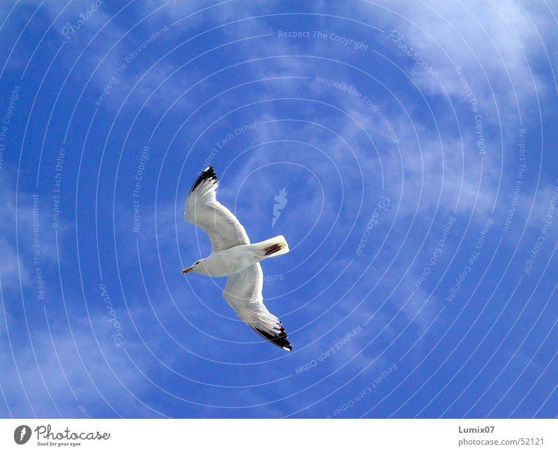 Möwe 2 Natur Himmel weiß Meer blau Wolken Tier Freiheit Luft Vogel fliegen Frieden Flügel Unendlichkeit Lachmöwe