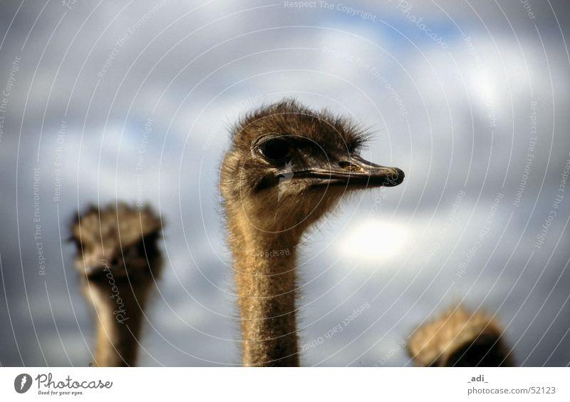 Straussen Portrait Südafrika Vogel Ferne Tier Blumenstrauß