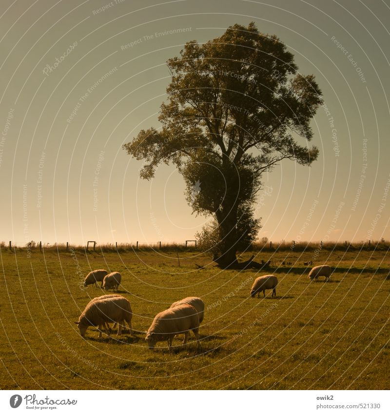 Rasenmäher Umwelt Natur Landschaft Pflanze Tier Wolkenloser Himmel Horizont Klima Schönes Wetter Baum Gras Schaf Schafherde Herde Fressen gehen genießen lecker