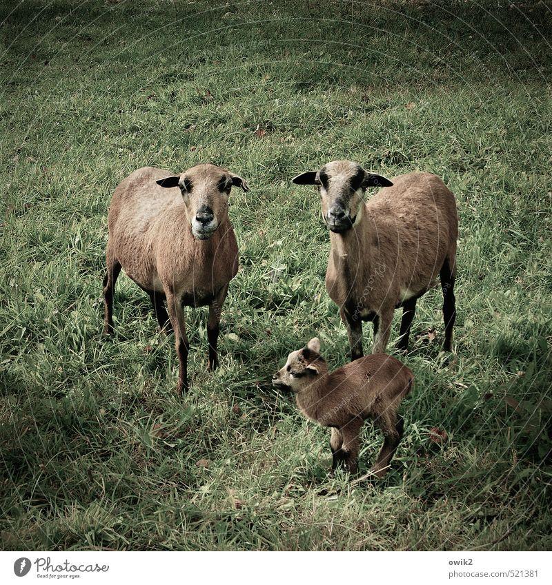 Aufpasser Gras Wiese Nutztier Schaf Kamerunschafe 3 Tier Tierpaar Tierjunges Tierfamilie beobachten Blick stehen niedlich Zusammensein Verantwortung achtsam
