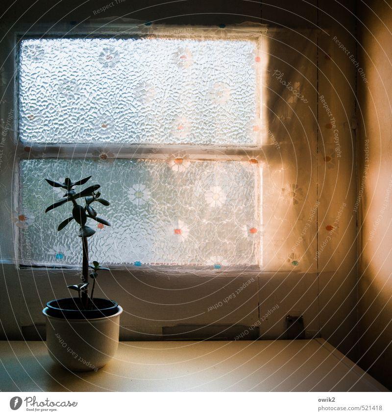 Pfennigbaum alt Pflanze ruhig Fenster klein träumen Wachstum Idylle Glas stehen Kunststoff Gardine Blumentopf Ornament Zimmerpflanze Topfpflanze