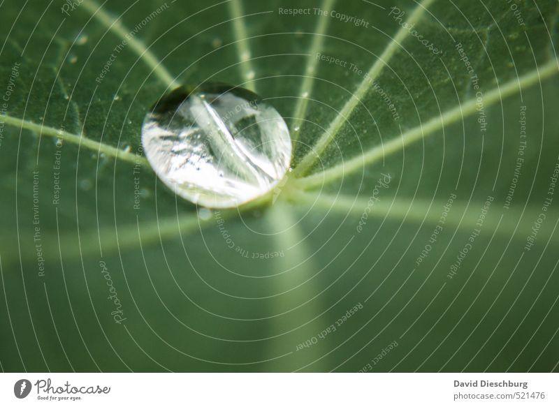 Perle der Natur grün weiß Wasser Pflanze Blatt Tier schwarz Herbst Frühling glänzend nass Wassertropfen silber feucht Grünpflanze Blattadern