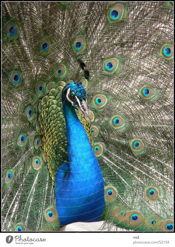 Pfau - Schöhnheit im Tierreich Vogel Cornwall England blau schöhnheit Natur Stolz